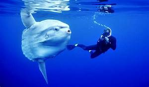 Giant ocean sunfish | Oceanuts