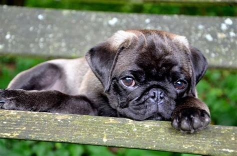1000+ Images About Silver & Apricot Pug Puppies On