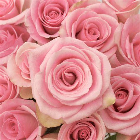 light pink roses light orlando pink