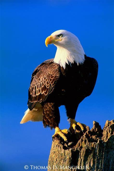 Pin by Margie Denham on eagles | Bald eagle, Eagle ...
