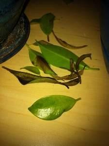 Ficus Benjamini Pflege Gelbe Blätter : bonsai ficus kriegt gelbe braune bl tter ~ Lizthompson.info Haus und Dekorationen