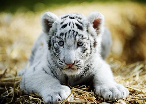white tiger cubs wallpapers images  pictures backgrounds