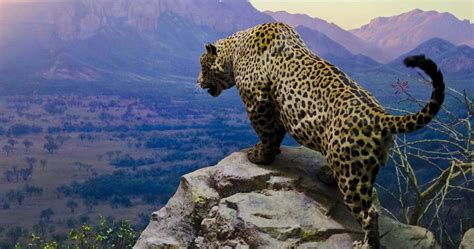 Android Animal Wallpaper - jaguar hd wallpapers animal buingoctan