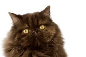 chocolate cat brown cat images
