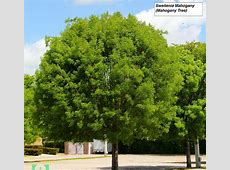 National Tree Of Dominican Republic West Indian Mahogany
