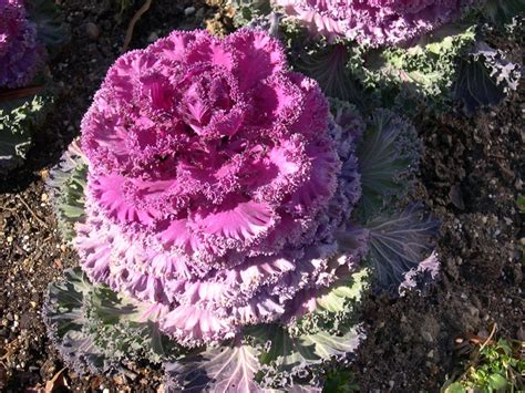 ornamental kale perennial top 28 ornamental kale annual or perennial kale seeds ornamental greenmylife anyone can