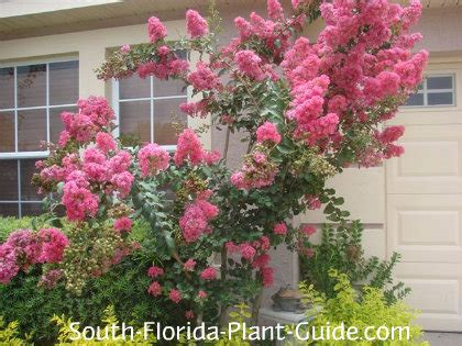 small flowering trees small pink flowering trees images