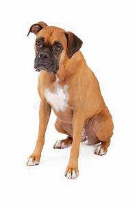 sad looking boxer dog sitting stock image image of With looking for dog sitter