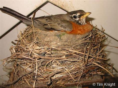 american robin nest wildlife web