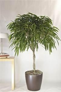 House Plants Ficus Trees Interior Plants Interiors