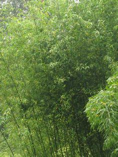 A Bamboo Shoot Is 20 Inches 1000 Images About Bamboo And Banana On Pinterest