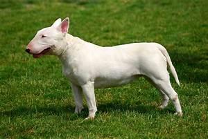 Bull Terrier - All Big Dog Breeds
