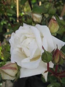 Kletterrose New Dawn : kletterrose white new dawn rosa white new dawn wei ~ Michelbontemps.com Haus und Dekorationen