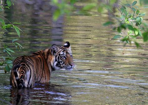Pics Of White Tiger Wildlife Sanctuaries In India