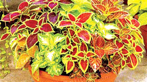 coleus lifelime coleus in contemporary gardens saturday magazine the guardian nigeria newspaper nigeria