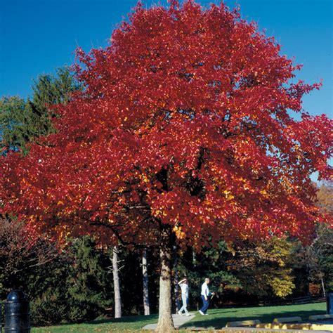 black gum tree black tupelo highlander tree walk
