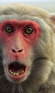Monkey Wallpapers Images Photos Pictures Backgrounds