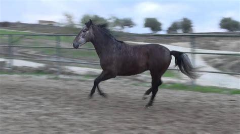 andalusian horse es yo