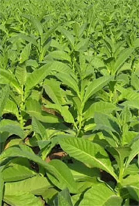 tobacco myvmc