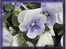 schoene Blumenphotos Stiefmütterchen Photos gratis