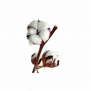 Bouquet Fleur De Coton : branche de fleur de coton livraison de coton france fleurs ~ Teatrodelosmanantiales.com Idées de Décoration