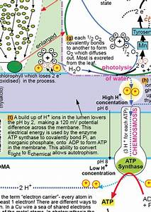 Photosynthesis Summary Diagram By Biology Max