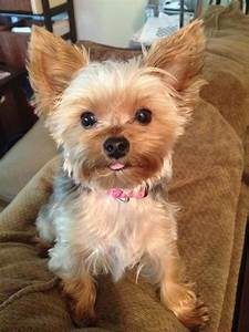 Yorkies: Predicting Adult Weight | To find out, Style and ...