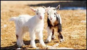 About Nigerian Dwarf Goats | Tamarack Farms
