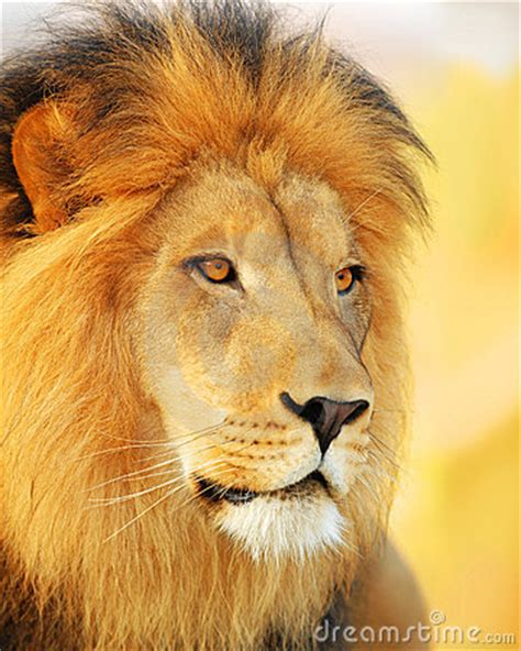 male lion stock photography image
