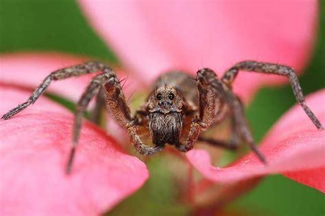 Garden Spider Toxicity by Best 25 Spider Identification Ideas On Spider