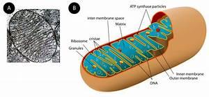 Ribosomes And Mitochondria   Read