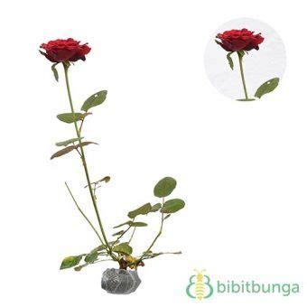 tanaman mawar merah  duri bibitbungacom