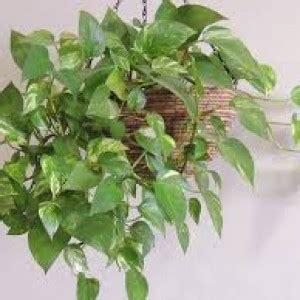plante de bureau feng shui plante verte tombante interieur l 39 atelier des fleurs