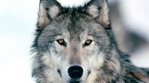 Alpha Wolf Wolf Wallpaper by Wolf Hd Wallpaper Background Image 1920x1080 Id
