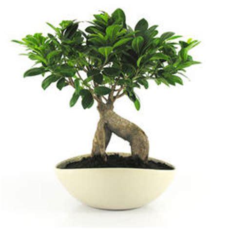 ficus retusa un bonsa 239 facile d entretien