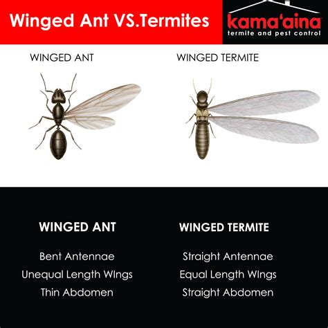 flying ants guide to identifying termites kama aina termite and pest control