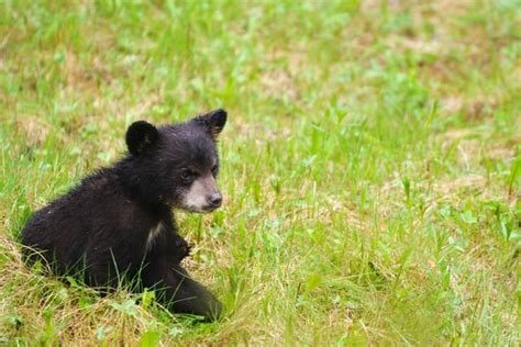 Will We See Black Bears At Cabins In Gatlinburg And Pigeon