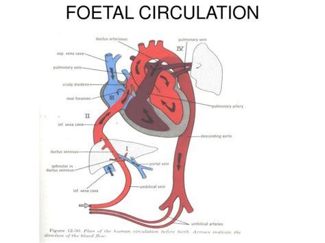 foetal circulation powerpoint  id