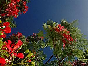 Baum Mit Blüten : baum mit roten bl ten hotel al nabila grand makadi makadi bay holidaycheck hurghada ~ Frokenaadalensverden.com Haus und Dekorationen