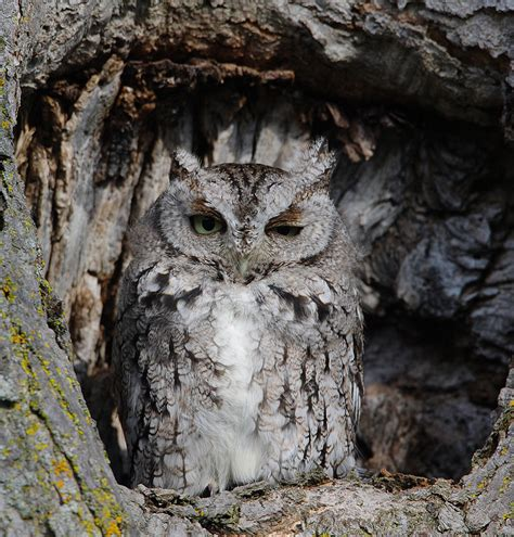 treknature eastern screech owl photo