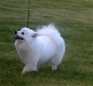 animal Life Style: Miniature American Eskimo Dog