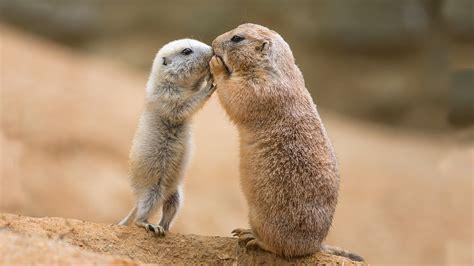 prairie dogs prairie dog greeting jpg