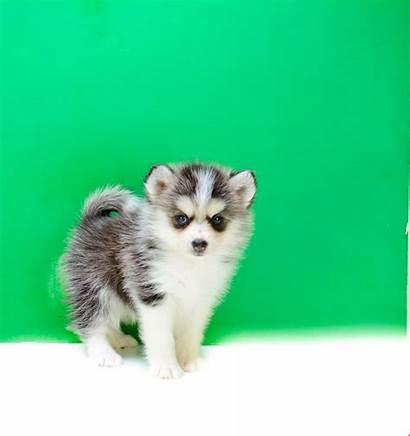 Pomsky Teacup Puppy Puppies Serena Husky Pomeranian