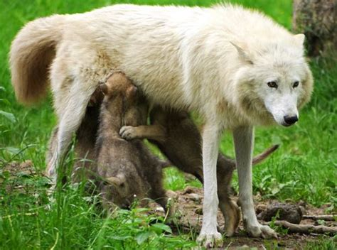 knuthenborg park welcomes  white arctic wolf pups
