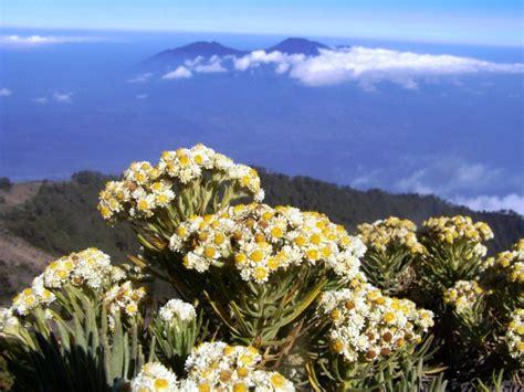 contoh deskripsi tentang bunga edelweis  bahasa