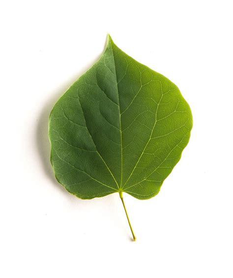 eastern redbud leaf eastern redbud single stem