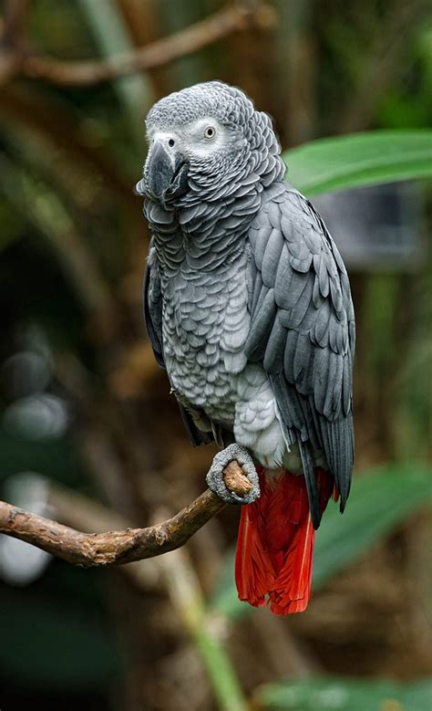 gray parrot wild african grey parrot www pixshark com images galleries with a bite