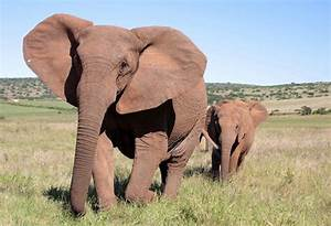 The Troubling Reason Elephants Are Being Born Without ...