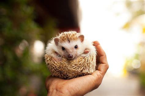 hedgehog day february days year