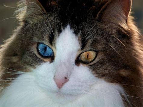 kucing mempunyai  warna mata berbeza kongxie
